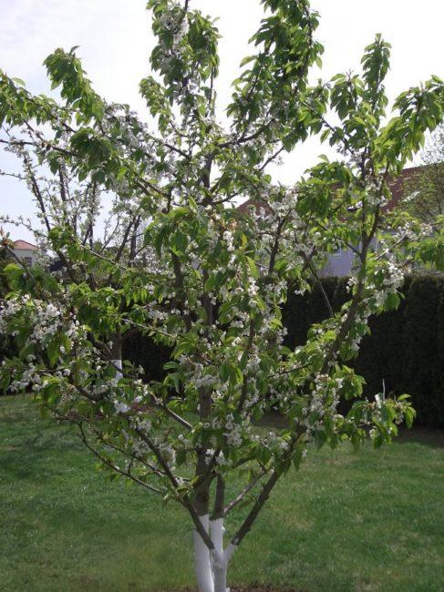 Белые цветки и зеленые листья на взрослом дереве сливы в середине мая