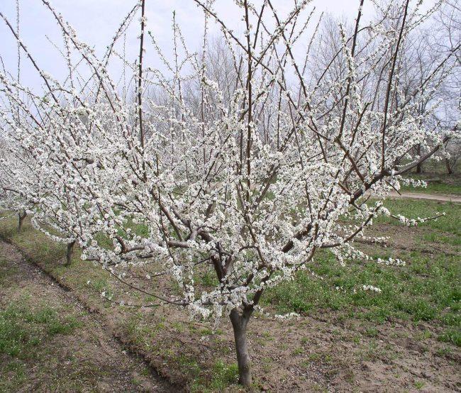 Цветущие сливы среднего роста в саду плодового хозяйства