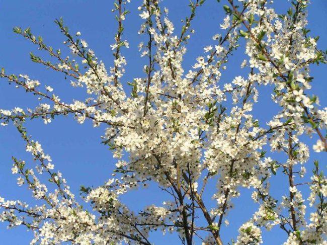 Обилие белых цветков на ветках дерева алычи среднего роста