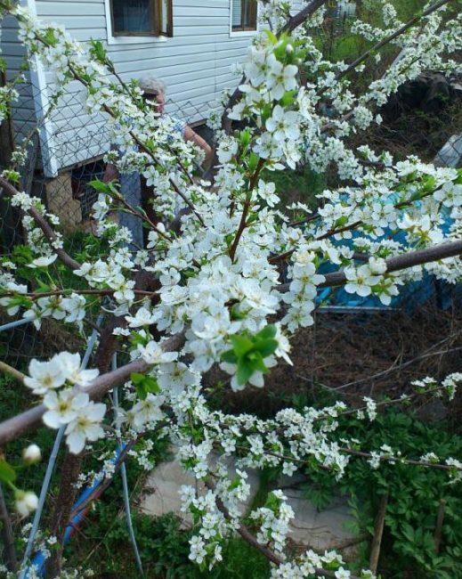 Белые лепестки цветков на сливовом дереве в середине мая