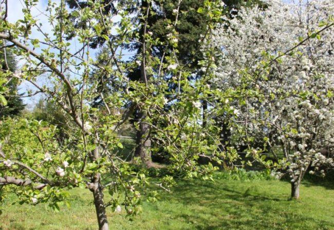 Цветущие деревья сливы и вишни ранней весной на территории частного сада