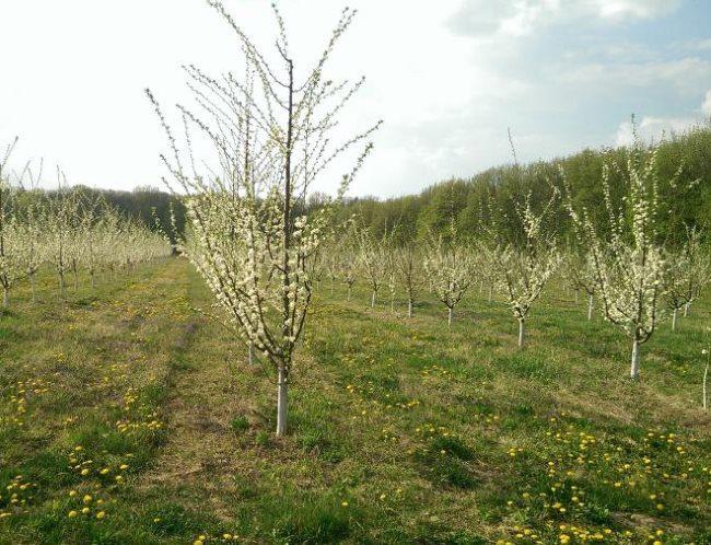 Цветение молодых деревьев сливы в саду фермерского хозяйства