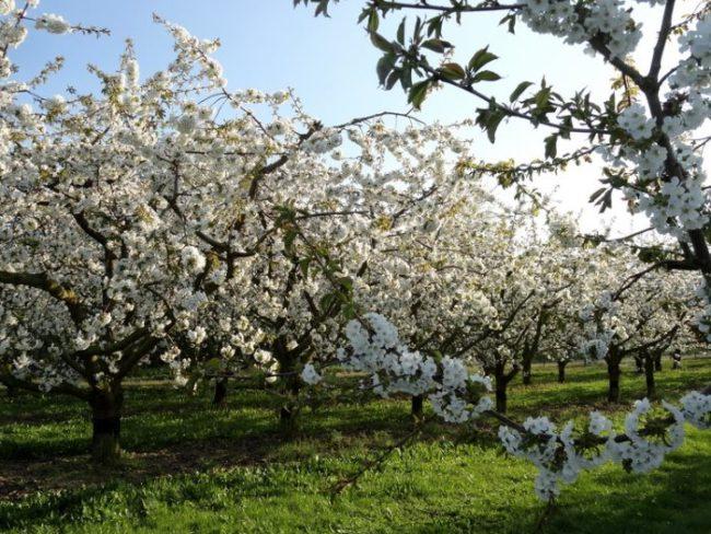 Обильное цветение сливового сада на территории Уральского региона