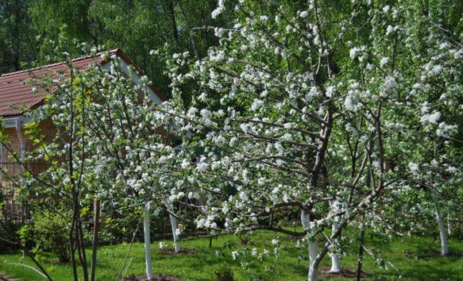 Цветение сливовых деревьев на дачном участке Московской области группа слив