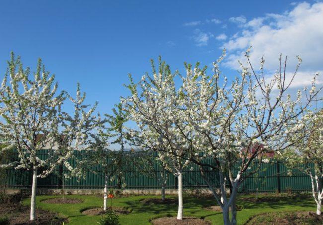 Цветение сливы и вишни на садовом участке с травянистым покровом