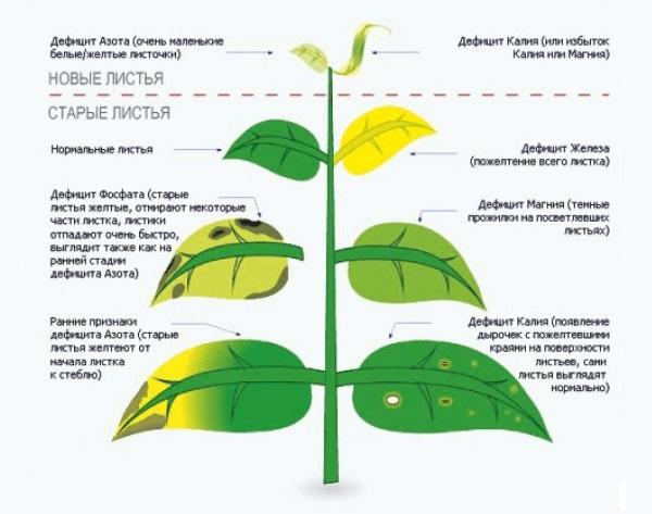 Схема определения дефицита питательных элементов по листьям сливы