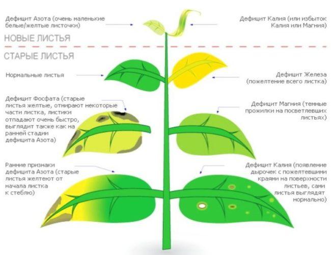 Схема для определения нехватки питательных элементов по листьям плодового дерева