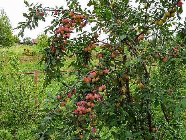 Взрослое дерево сливы высотой менее трех метров с плодами на стадии созревания
