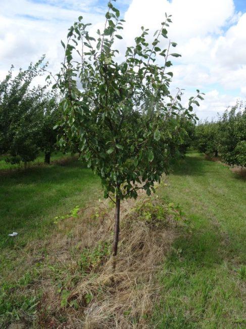 Небольшое дерево зимостойкой сливы сорта Генеральская в саду плодового питомника
