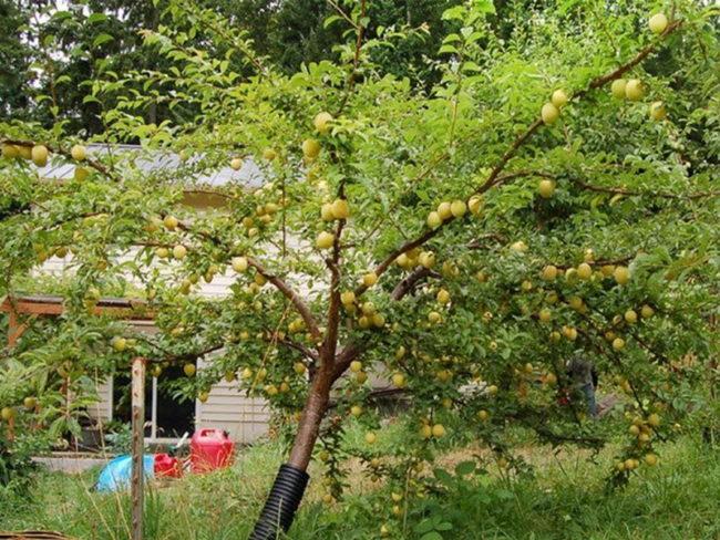 Первое плодоношение желтой самоплодной сливы в возрасте четырех лет