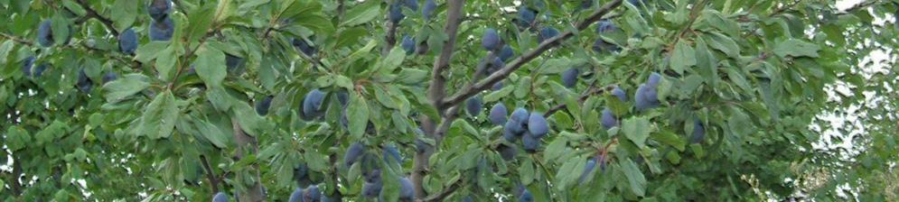 Плоды сливы на дереве в Подмосковье