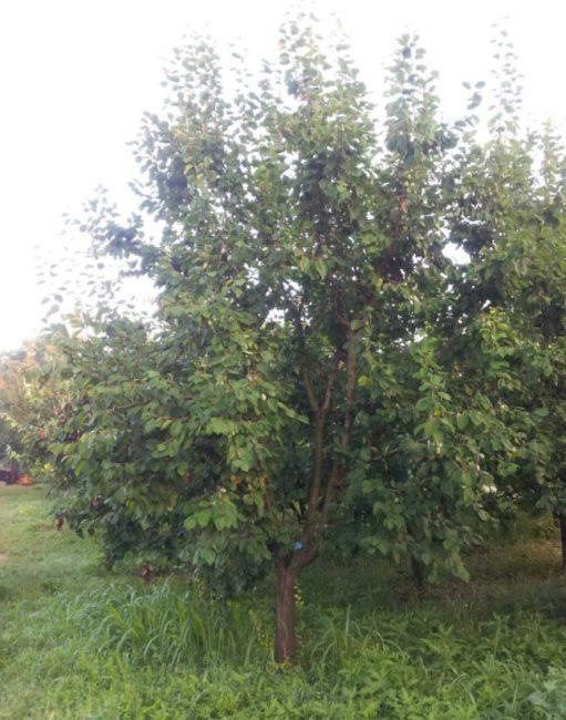 Фото взрослого дерева сливы сорта Киргизская превосходная в начале лета