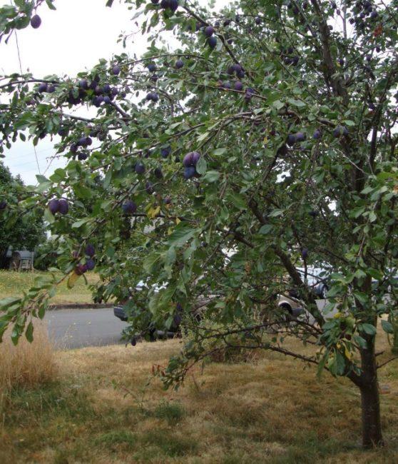 Сине-фиолетовые плоды на ветках дерева сливы с компактной кроной