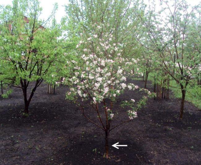 Невысокое деревце сливы в период цветения на фоне плодового сада