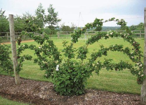 Выращивание росяники на вертикальной опоре из проволоки