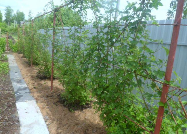Выращивание садовой ежевики на шпалере вдоль металлического забора