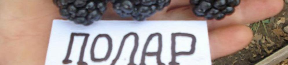 Ежевика сорта Полар вблизи с табличкой