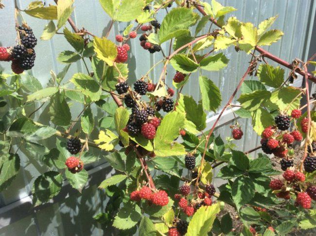 Созревание ягод на ветках ежевики около забора из профилированного листа