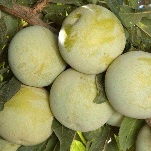 Желто-зеленые плоты гибрида сливы и абрикоса сорта Flavor Queen