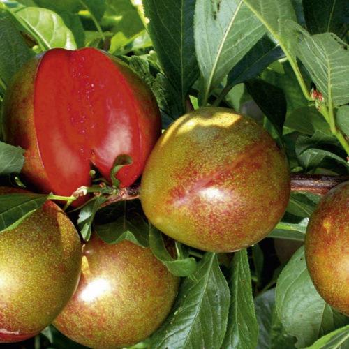 Красновато-зеленые плоды плуота Flavour Supreme зарубежной селекции