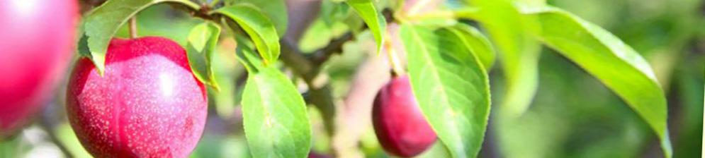 Созревающие плоды сливы сорта Гармония на ветке дерева