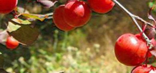 Слива Генеральская вблизи красная уже созревает на дереве