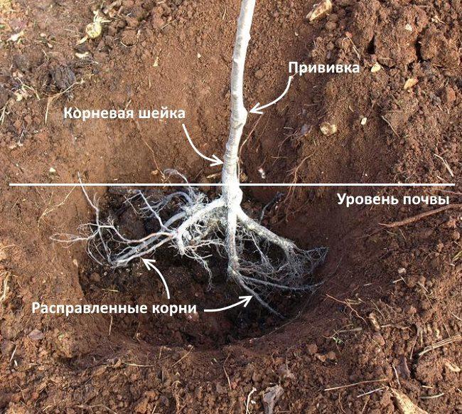 Схема правильного расположения саженца сливы в посадочной яме