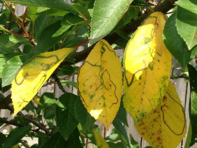 Желтые листья на дереве сливы при заболевании растения хлорозом