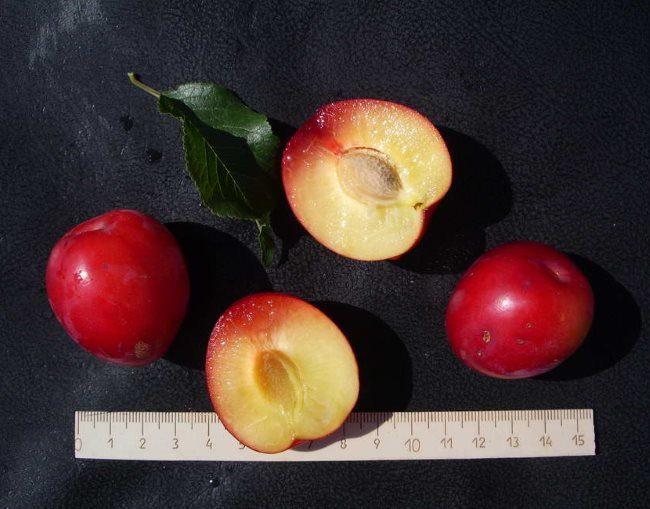Размер плодов и вид мякоти алычи сорта Июльская роза