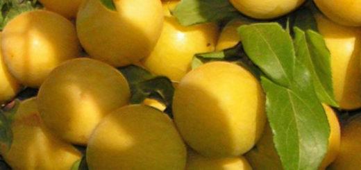 Созревающие плоды сливы медовая жёлтая