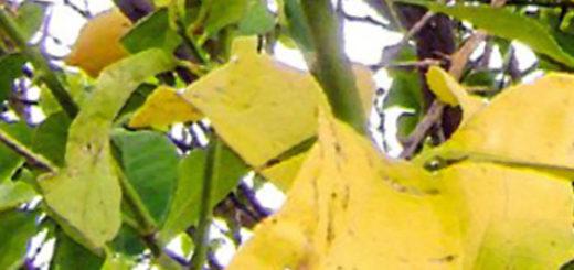 Жёлтые листья сливы вблизи на дереве