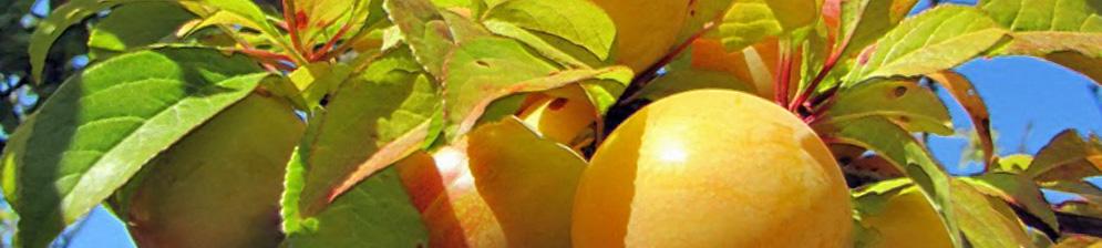 Жёлтая самоплодная слива вблизи плоды