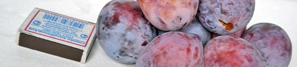 Слива Киргизская Превосходная плоды в сравнении с спичечным коробком