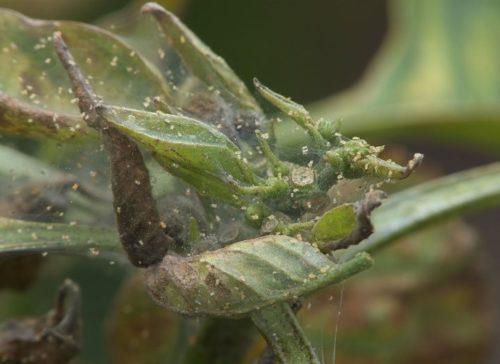 Листья сливового дерева с признаками появления паутинного клеща