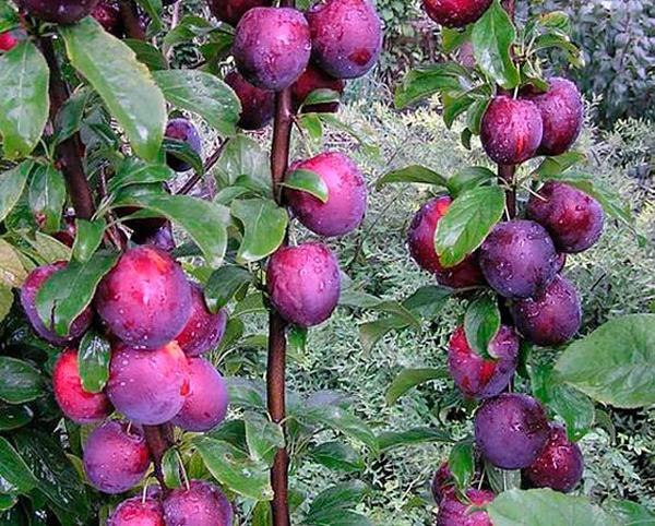 Фиолетовая окраска плодов сливы сорта Колоновидная с прямыми ветками