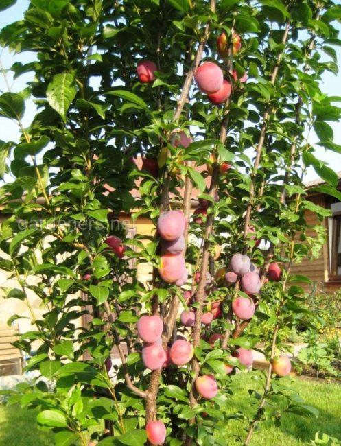 Красно-бардовые плоды на вертикальных ветках колоновидной сливы