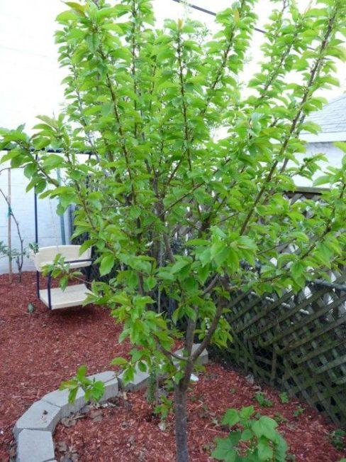 Ухоженное деревце селекционной сливы с аккуратной кроной небольшого размера