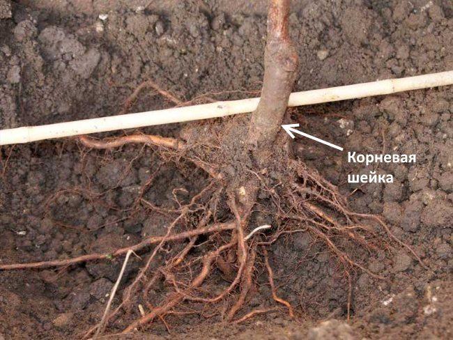 Проверка глубину посадки сливы с помощью деревянного черенка лопаты