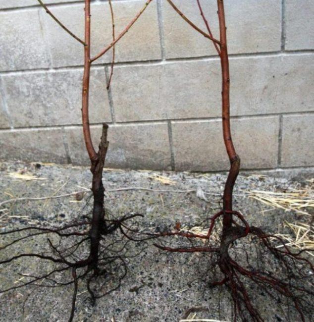 Хорошо развитые корни саженцев гибридной сливы из питомника