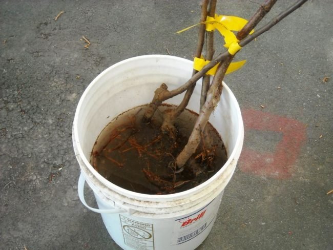 Замачивание корней сливового саженца в пластиковом ведре с водой