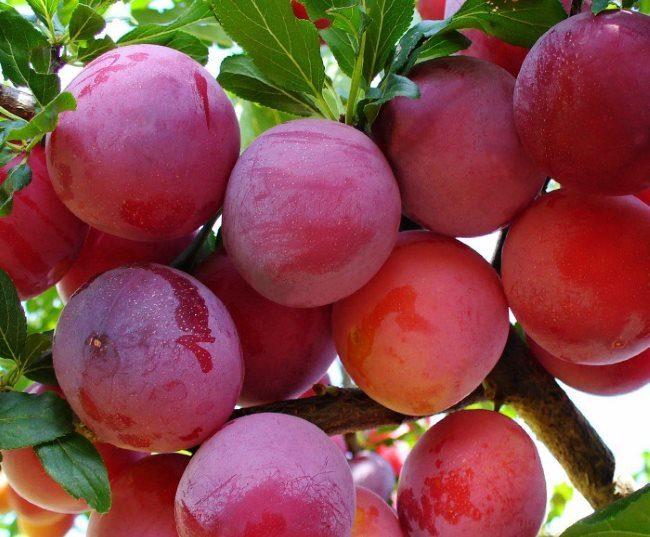 Круглые плоды сливы с ярко выраженной покровной окраской красного цвета
