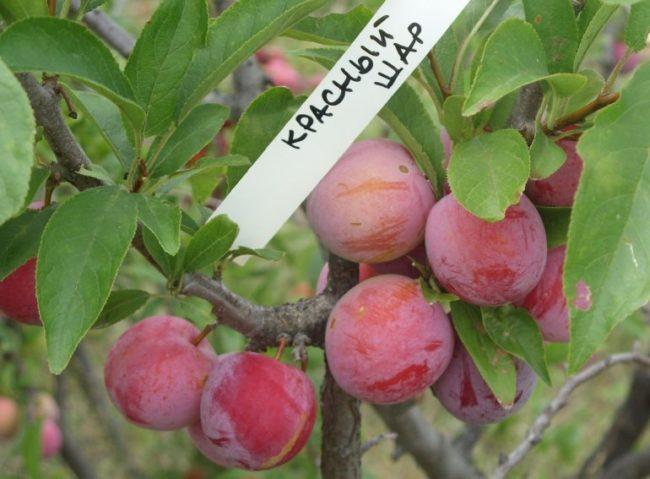 Плоды сливы перспективного сорта Красный шар с биркой на ветке