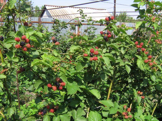 Куст садовой ежевики сорта Полар с ягодами крупного размера