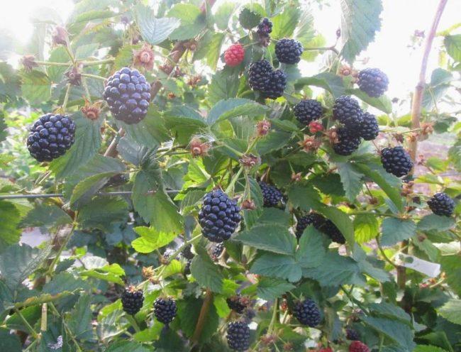 Созревание ягод ежевики популярного сорта Полар на прямостоячих ветках
