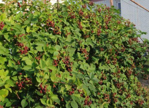 Кусты куманики на дачном участке в период роста ягод