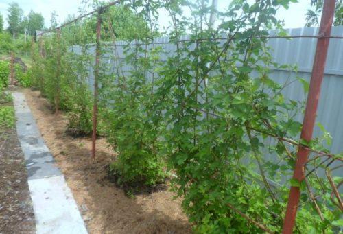 Проволочная шпалера с длинными побегами садовой росяники