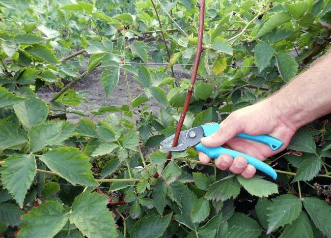 Летняя обрезка одеревеневшей ветки ежевики садовым секатором