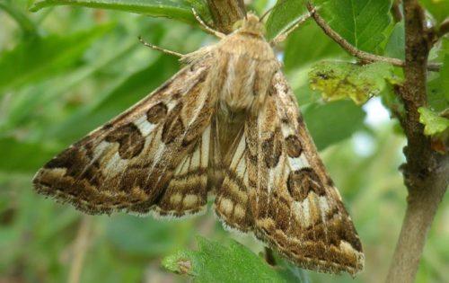 Серо-коричневая бабочка сливовой листовертки с большими пятнистыми крыльями