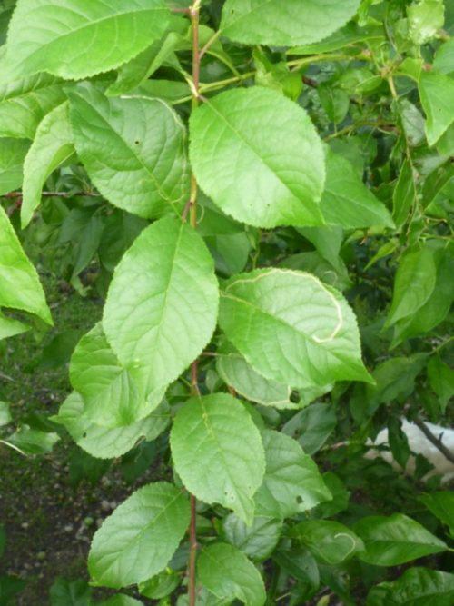 Вытянутые темно-зеленые листья гибрида алычи с абрикосом обыкновенным