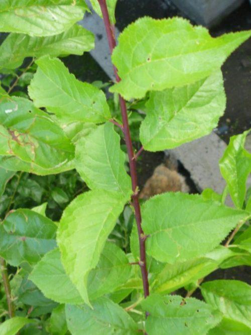 Фото ветки с листьями гибрида Уссурийской сливы с обыкновенным абрикосом
